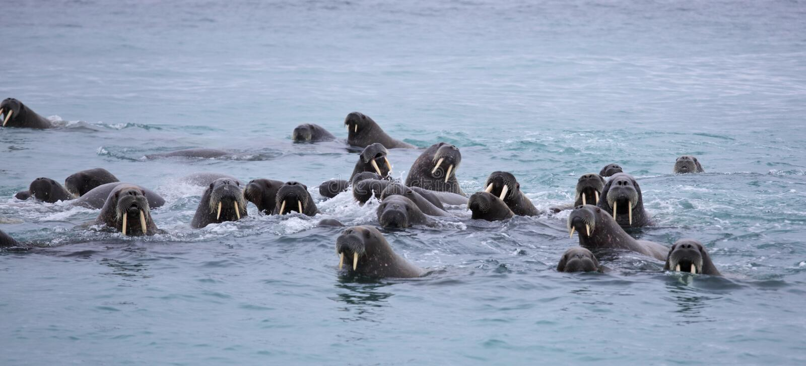 Walrus family in the sea. Atlantic walrus haul-out in the Barents Sea in Arctic stock photography