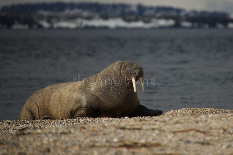 Walrus with half-closed eyes on shingle beach stock photography