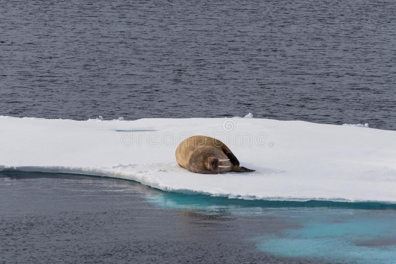 Walrus lying on the pack ice north of Spitsbergen Island royalty free stock photography