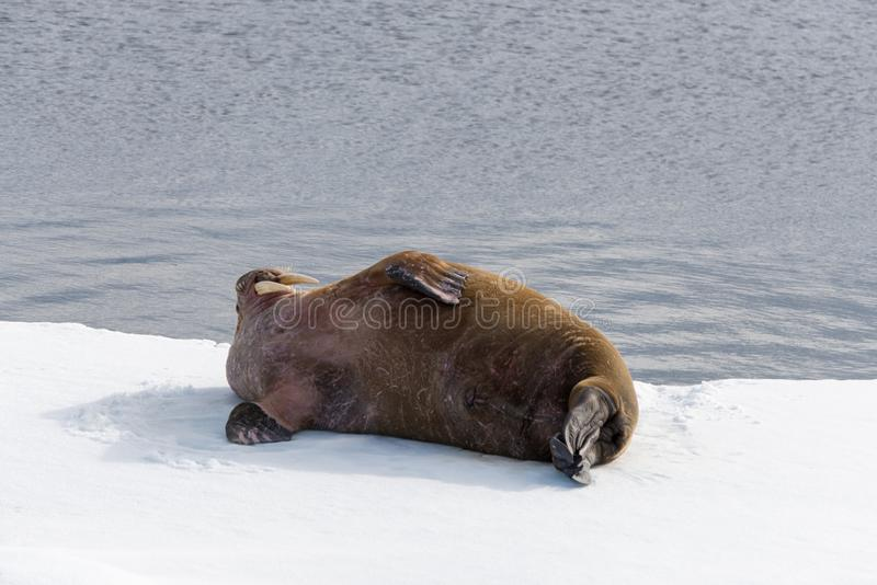 Walrus lying on the pack ice north of Spitsbergen Island, Svalbard. Norway, Scandinavia royalty free stock photos