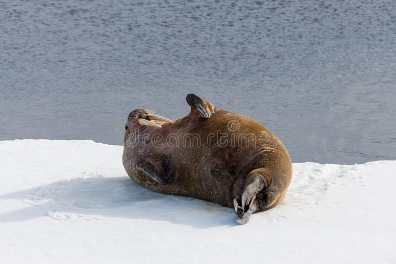 Walrus lying on the pack ice north of Spitsbergen Island, Svalbard. Norway, Scandinavia royalty free stock images