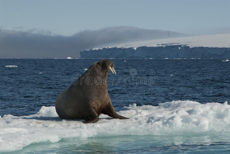 Walrus on an ice floe. In the Spitsbergen royalty free stock photo