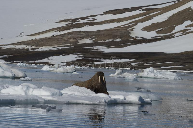 Walrus on ice flow. In Franz Joseph Land Arctic stock image