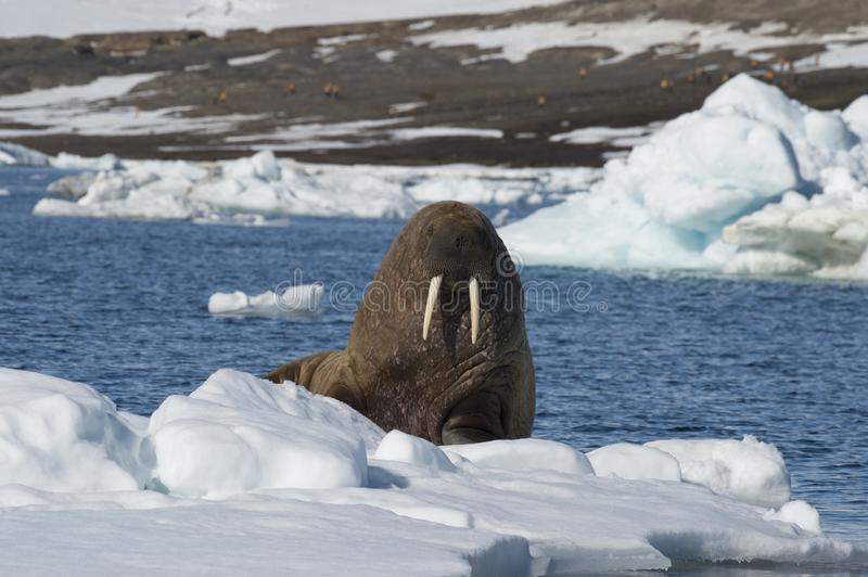 Walrus on ice flow. In Franz Joseph Land Arctic royalty free stock photography