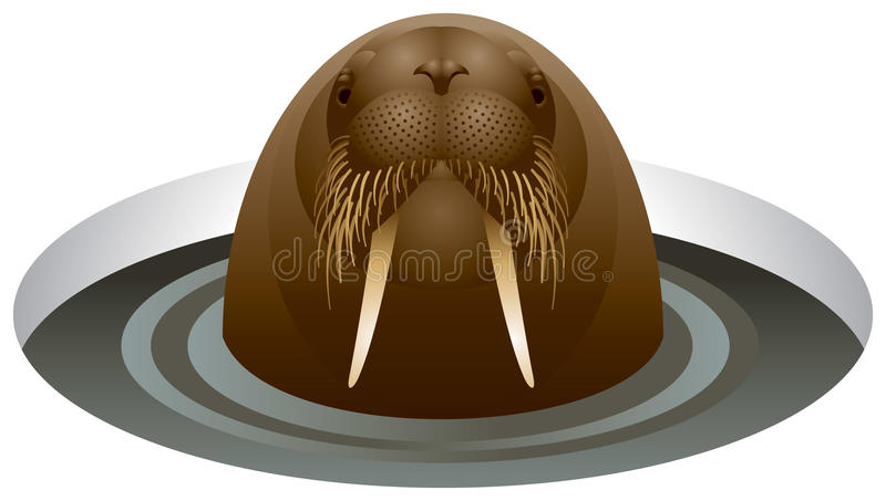 Walrus In The Ice-hole Stock Photo