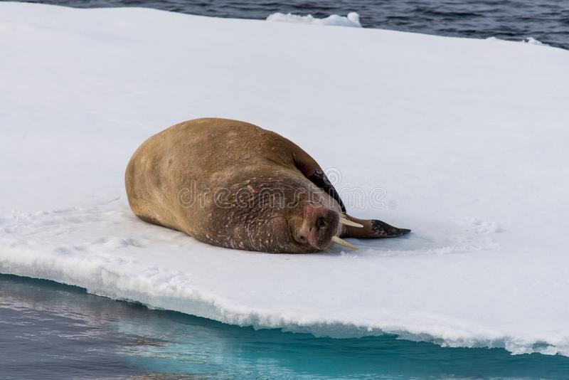 Walrus lying on the pack ice north of Spitsbergen Island, Svalbard. Norway, Scandinavia stock photography