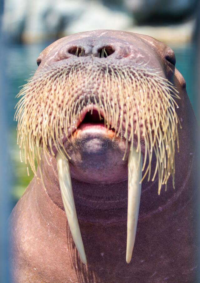 The walrus is a marine mammal.  royalty free stock image