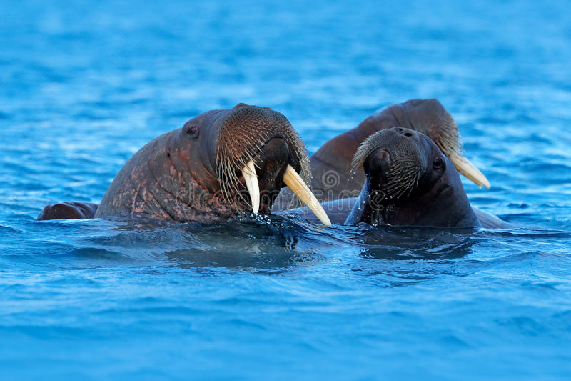 The walrus, Odobenus rosmarus, large flippered marine mammal, in blue water, Svalbard, Norway. Detail portrait of big animal in th. E water royalty free stock images