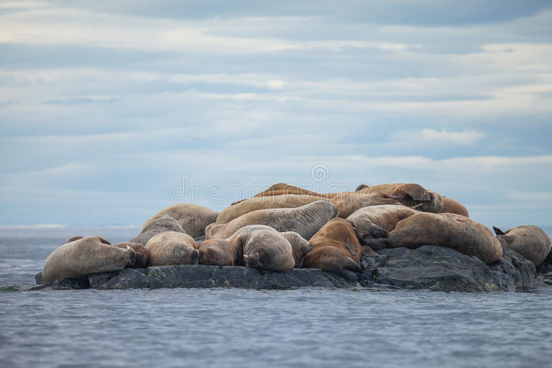 Walrus. The walrus Odobenus rosmarus is a large flippered marine mammal with a discontinuous distribution about the North Pole in the Arctic Ocean stock image