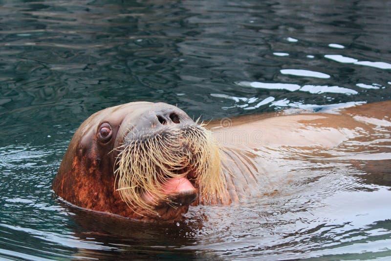 Walrus. (Odobenus rosmarus) looking from water stock photos