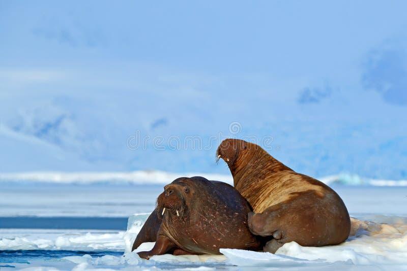 Walrus, Odobenus-rosmarus, stok uit van blauw water op wit ijs met sneeuw, Svalbard, Noorwegen Moeder met welp Jonge walrus met stock fotografie
