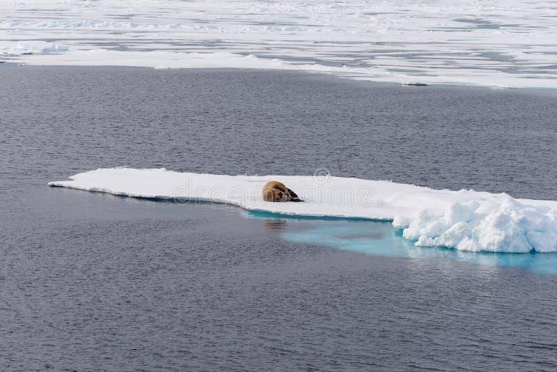 Walrus on ice. Walrus on the pack ice north of Spitsbergen Island, Svalbard, Norway, Scandinavia, Europe stock photos