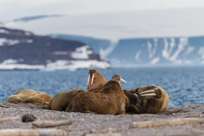 Walrus on the rookery near the sea. Walrus rookery on the stone shore of the fjord Svalbard archipelago royalty free stock photography