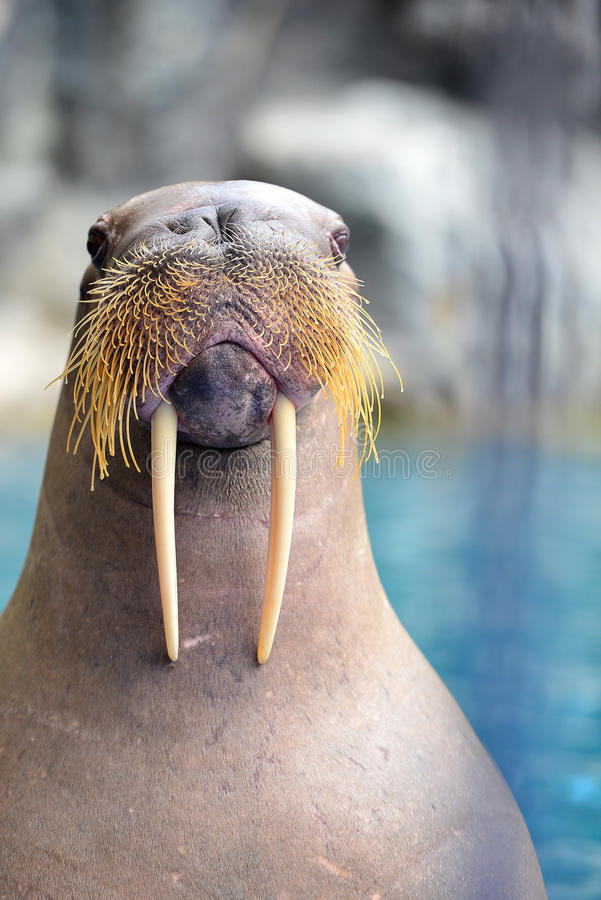 Walrus. Standing in the pond royalty free stock photos