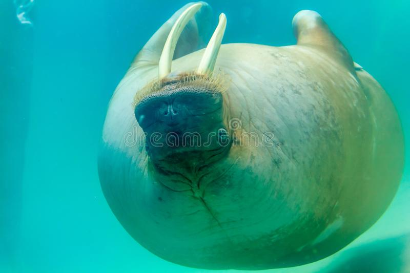 Upside down walrus. A walrus upe down swimming towards camera stock photography
