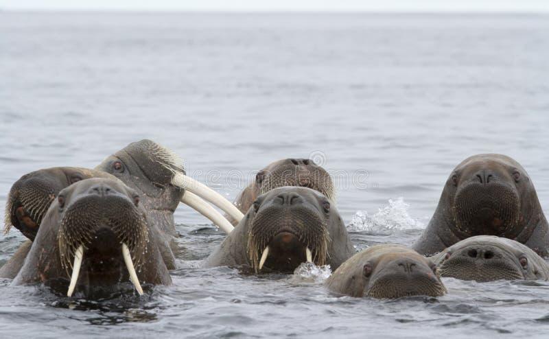 Walruses royaltyfri foto