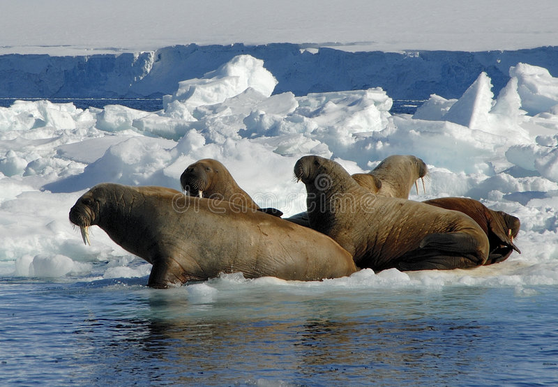 Walruses. On the Ice in the Spitsbergen stock photography