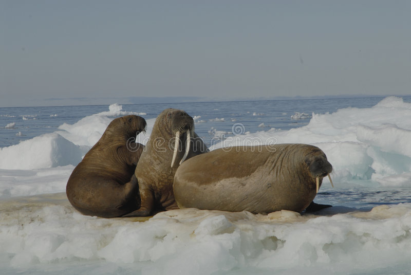 Walruses. The walruses on the ice Spitsbergen, Arctic 2006 stock images