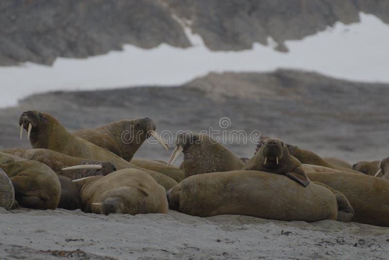 Walruses stock afbeeldingen