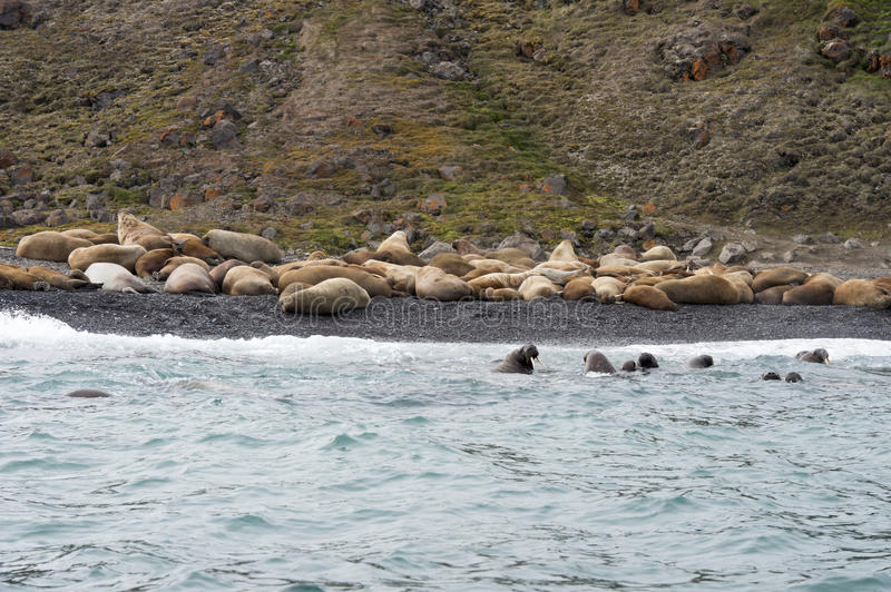 Walruses on the beach. In the Russian Arctic royalty free stock photos