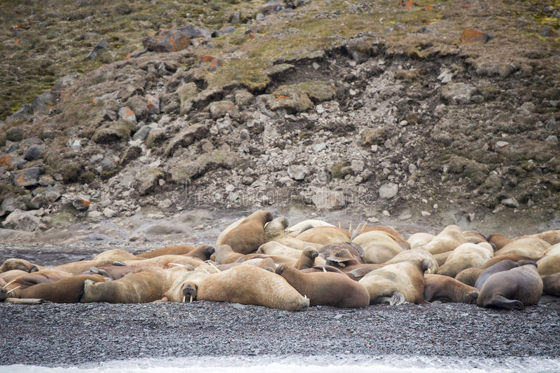 Walruses on the beach. In the Russian Arctic royalty free stock image