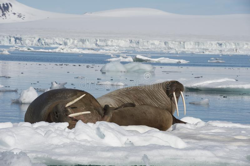 Walruses on ice flow royalty free stock photography