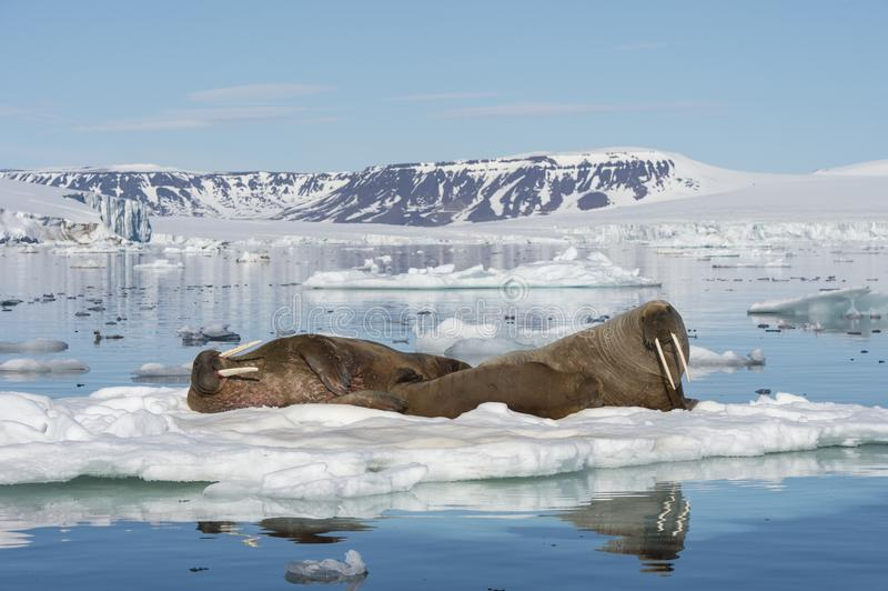Walruses on ice flow. In Franz Joseph Land Arctic royalty free stock photography