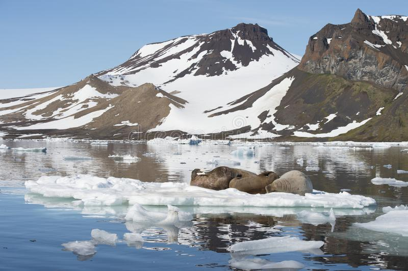 Walruses on ice flow. In Franz Joseph Land Arctic stock images
