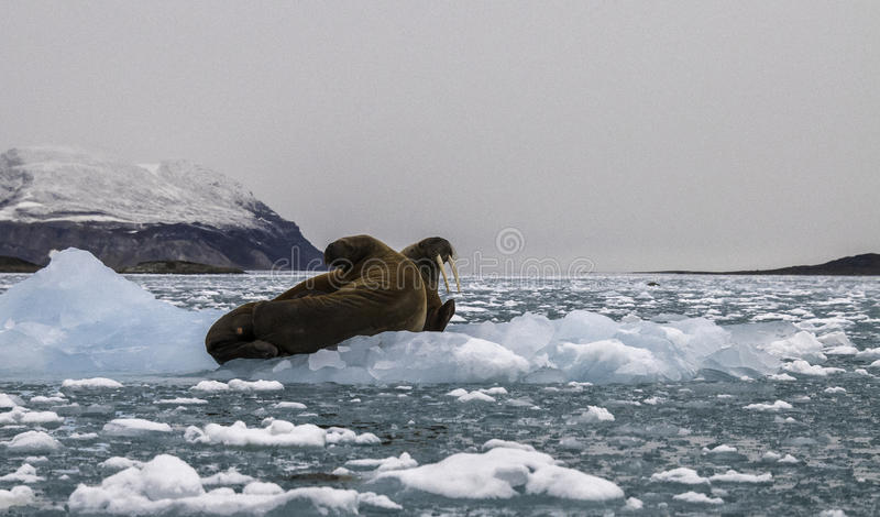 Walruses On Ice. Mother and calf walruses resting on icebergs floating in a fjord in northern Svalbard stock image