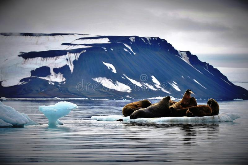 Walruses on Ice stock photos