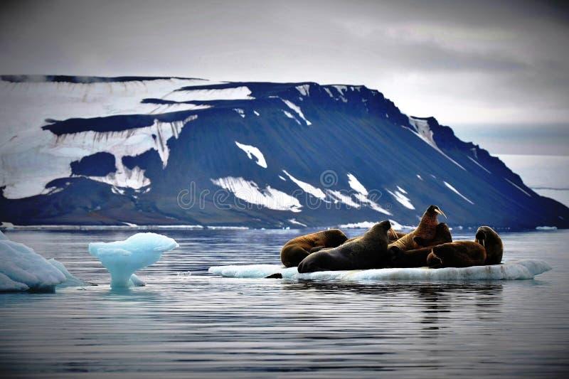 Walruses on Ice. Walruses take a break on a small ice sheet near the North Pole stock photos