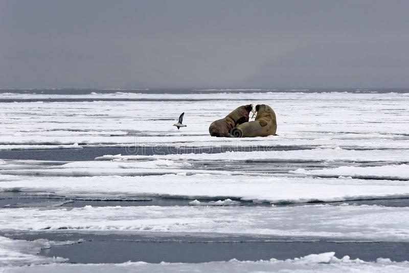 Walruses on the Ice royalty free stock photo