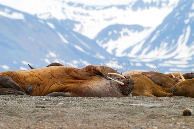 Walruses lying on the shore in Svalbard, Norway stock image