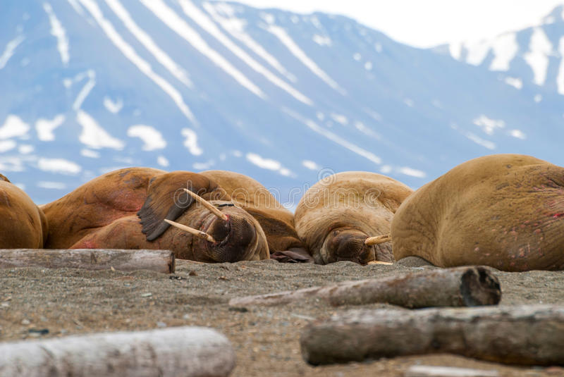 Walruses lying on the shore in Svalbard, Norway stock photo