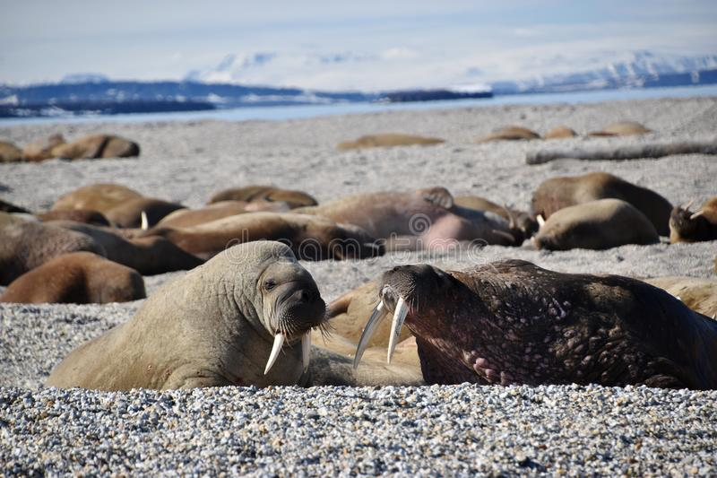 Walruses lying on the shore in Svalbard stock photo
