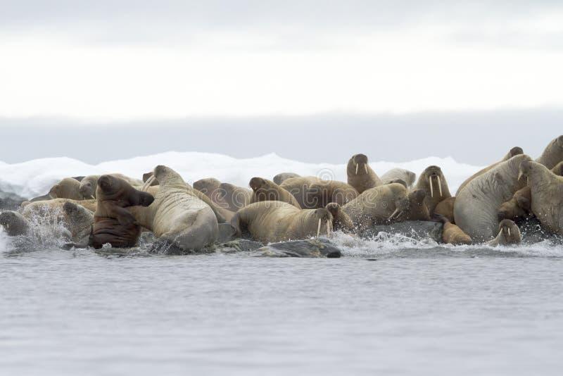 Walruses som heading för havet. arkivbilder