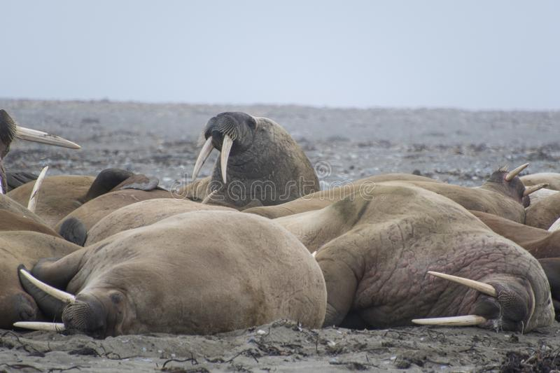 Walruses in Svalbard - Norway, North Pole. A large pack of Walruses rest on the beach in the Svalbard Island - north pole stock image