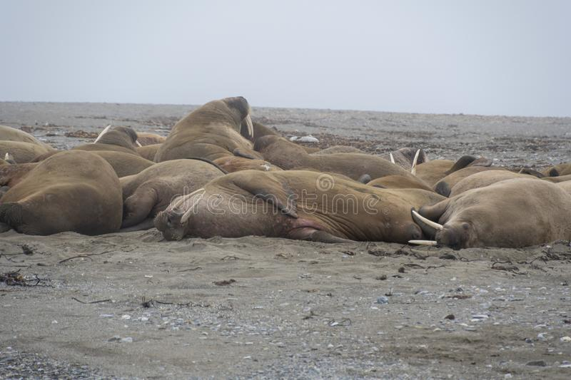 Walruses in Svalbard - Norway, North Pole. A large pack of Walruses rest on the beach in the Svalbard Island - north pole stock photo