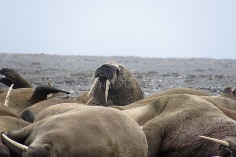 Walruses in Svalbard - Norway, North Pole. A large pack of Walruses rest on the beach in the Svalbard Island - north pole royalty free stock image