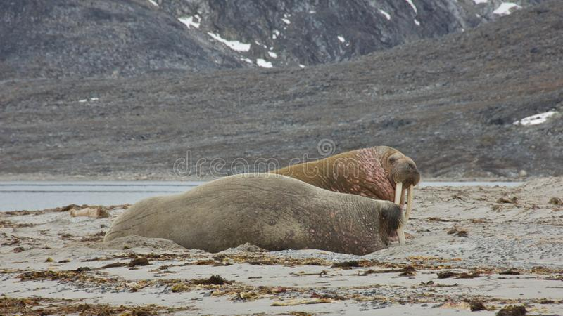 Walruses in Svalbard stock photos