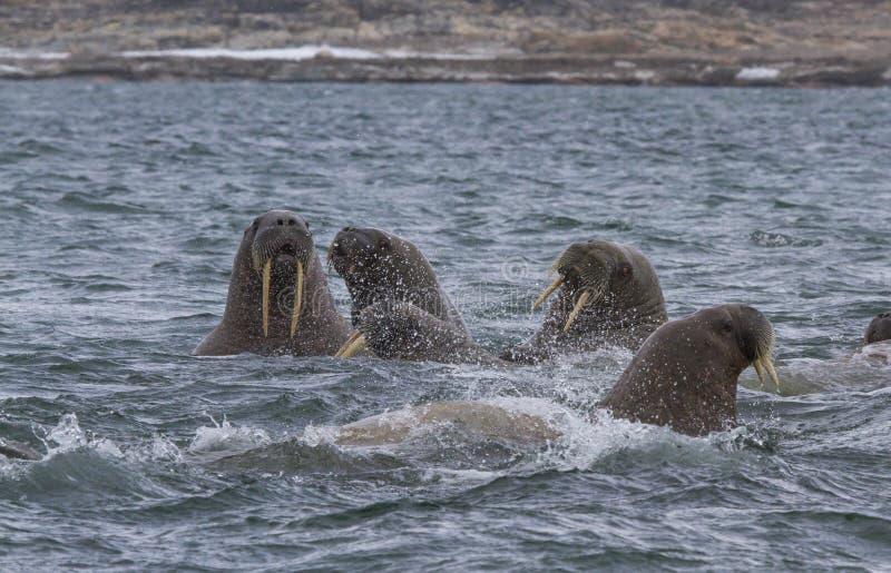 Walruses in a water in Svalbard. Walruses in archipelago of Svalbard royalty free stock image