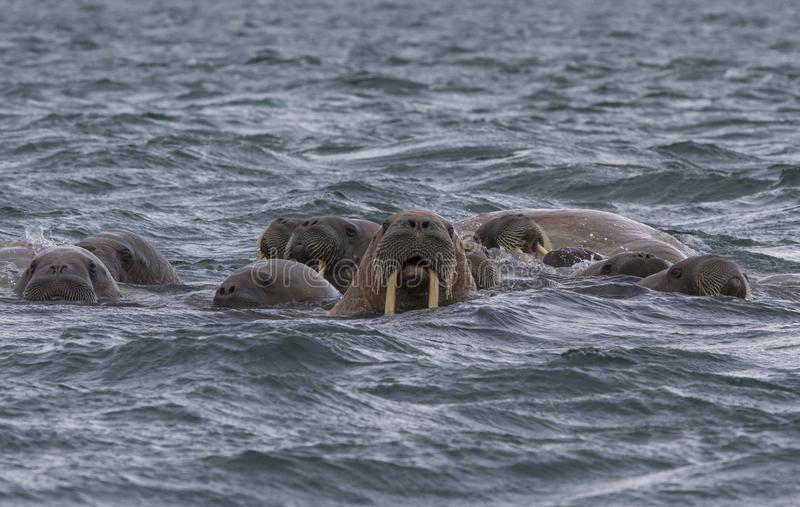 Walruses in a water in Svalbard. Walruses in archipelago of Svalbard stock photography