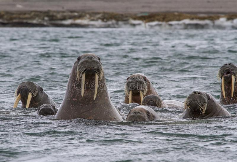 Walruses in a water in Svalbard royalty free stock photos
