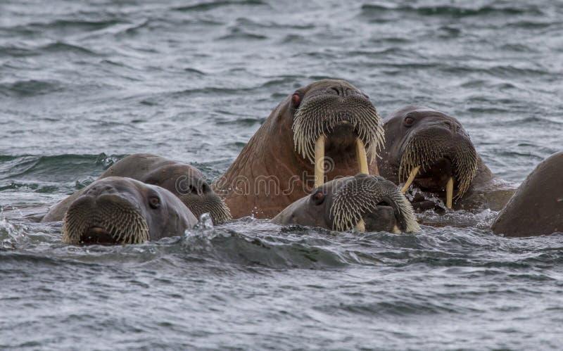 Walruses in a water in Svalbard. Walruses in archipelago of Svalbard stock photo