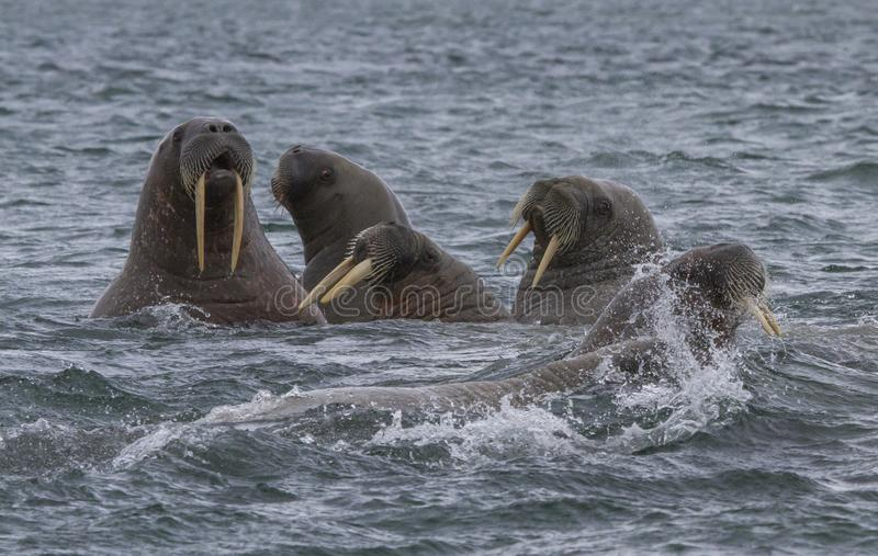 Walruses in a water in Svalbard stock images