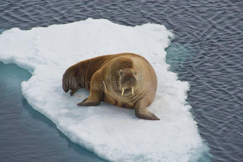 Walrussen royalty-vrije stock afbeelding