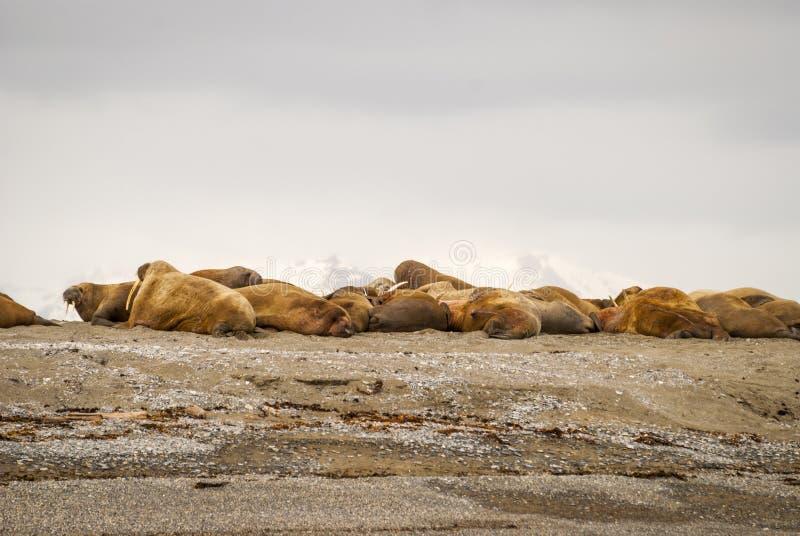 Walrussen die op de kust in Svalbard, Noorwegen liggen stock fotografie