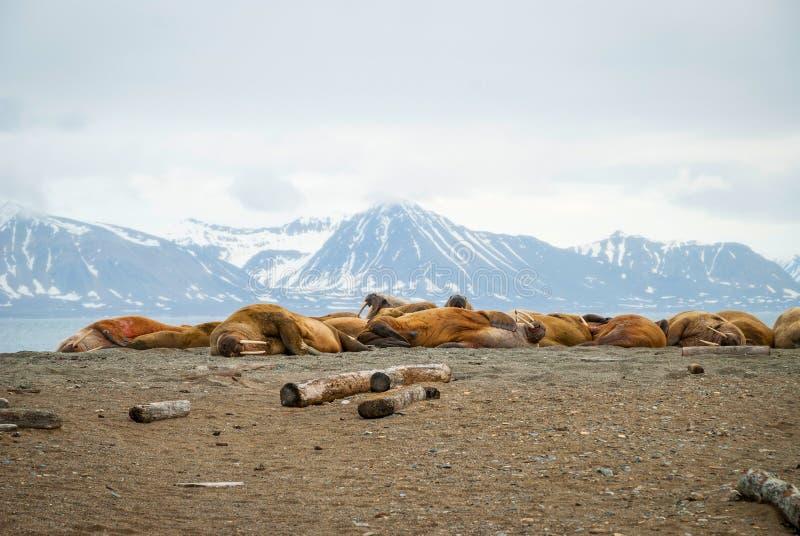 Walrussen die op de kust in Svalbard, Noorwegen liggen royalty-vrije stock fotografie