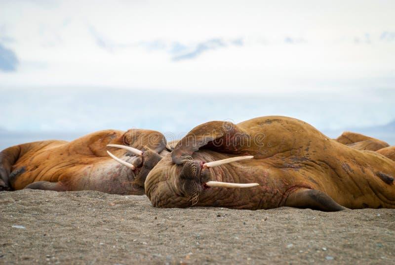 Walrussen die op de kust in Svalbard, Noorwegen liggen royalty-vrije stock foto's