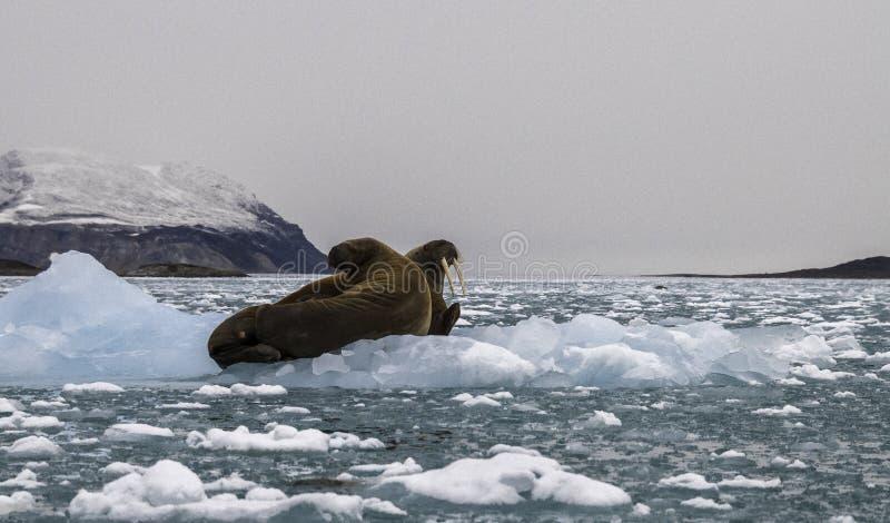 Walrussen op Ijs stock afbeelding